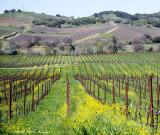 Napa Vineyards  California