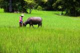 Cambodia Boy and Buffalo