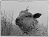 Cache mouton