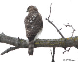 6464 Cooper's Hawk.jpg