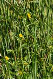 0539 Beggarticks or Bur-marigolds.jpg