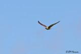 Caracaras and Falcons