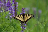 Swallowtail butterflyP6221807