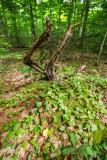 Dead tree feeding new plantsP6221849