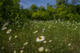 Field of daisies with beeP6221864