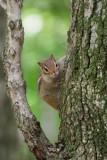 Chipmunk peering around treeP6221889