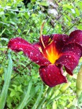 Sunburst Day Lily