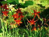 Daylilies in Evening Sun
