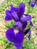 Dwarf Purple Iris 2015