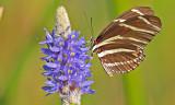20130630 Zebra Longwing on Pickerelweed   _7136