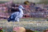 20130707 Im. Little Blue Heron 1_7464.jpg
