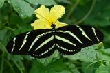 20130709 Zebra Longwing   _7635
