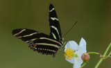 20130821 Zebra Longwing on Duckpotato Plant  _8851