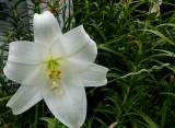 White Asian Lily