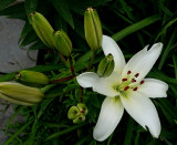 Asian Lily