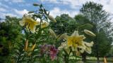 Asian Lillies