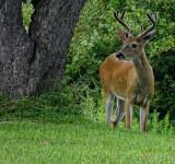 8 Point Buck in my Yard HX400 Cam