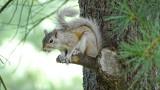 Blond Squirrel