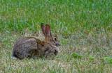 Cottentail Rabbit NY