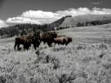 Buffalo Selective Color DSC08098.jpg