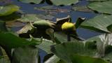Water Lily Brick Pond 1