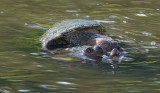 2 Headed Snapping turtle Suny Bing NY Wildlife Preserve