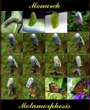 Monarch Metamorphosis & VIDEO