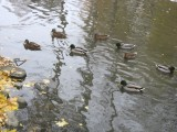 Ducks 3 (3)