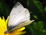 First Spring Butterfly