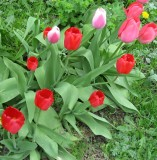 Tulips Belong To The Spring!