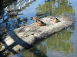 Four Ducks In The Sunshine