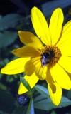 A Bee Visiting The Goldball