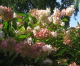 Hydrangea paniculata Grandiflora 2 (2)