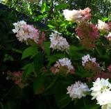 Hydrangea paniculata Grandiflora 1 (2)