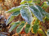 Frosted Leaves 2