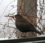 Blackbird On The Fence