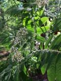 Budding Rowan Tree