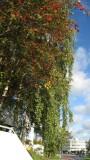 Rowan Tree
