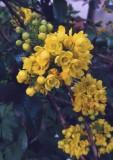 Blooming Mahonia Aquifolium