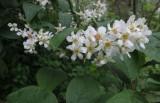 Clusters of  bird cherry's flowers
