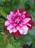 Tricoloured Dahlia