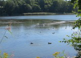 Ducks and Swans with Fledglings