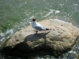 Black-headed Gull / Larus ridibundus