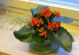 Kalanchoe blossfeldiana - tulilatva