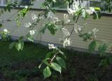 European Bird Cherry Prunus Padus