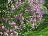 Hungarian Lilacs