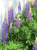 Lupins - very early!