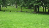 Canadian/barnacle geese