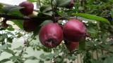 Crab Apples  Malus Purpurea