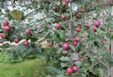 More crab apples